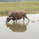 Water buffalo (reservoir for schistosome infection) at the banks of Yangtse river, China